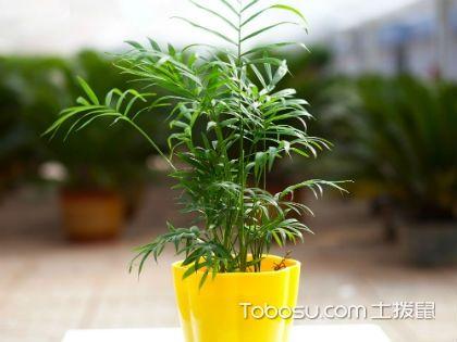 袖珍椰子和凤尾竹的区别,让你快速分清两者的不同