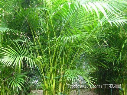 散尾葵常见病虫害,又该如何防治
