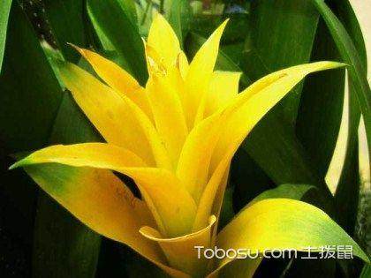 凤梨花的养殖方法和注意事项,老手向你传经验