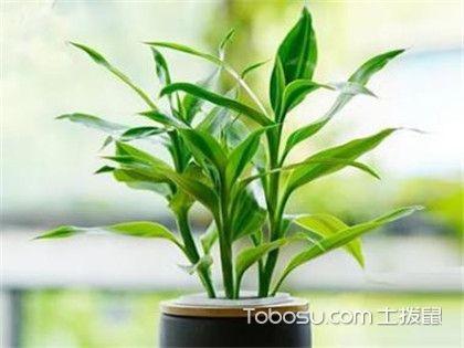 富贵竹常见病虫害,4种病虫害的防治方法!