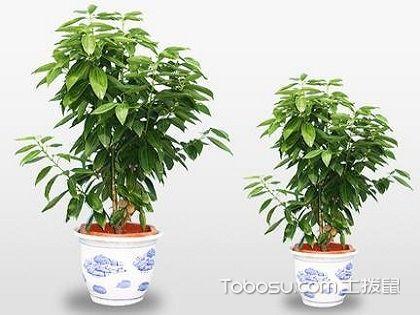平安树多少钱一盆?室内最佳的天然净化器!