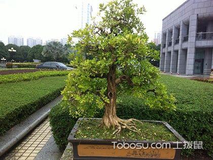 九里香盆景制作,漂亮的造型是这么来的