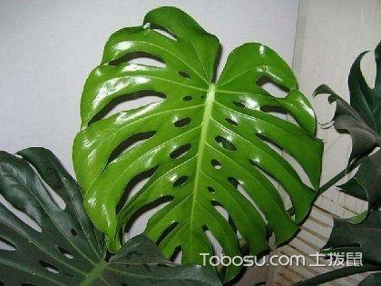 龟背竹价格,选择室内绿植的参考