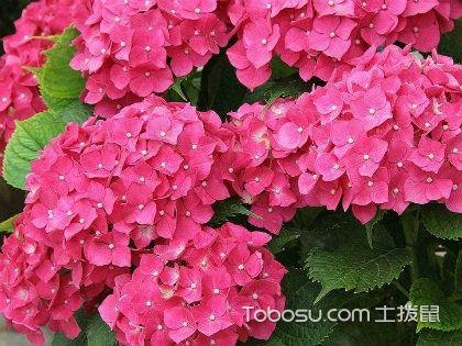 绣球花的养殖方法,如何养殖绣球花
