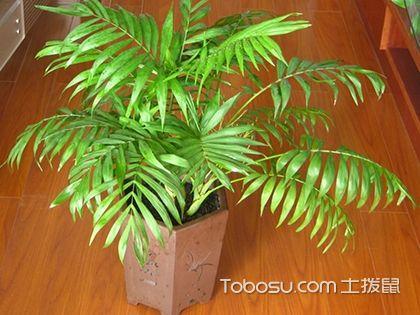 袖珍椰子的作用,养殖绿色植物提高生活品味!