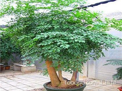 幸福树的养殖方法和注意事项,教你正确养殖幸福树
