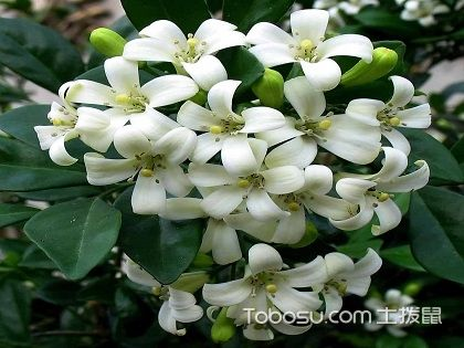 九里香花期養護知識,讓你享受它的芳香四溢