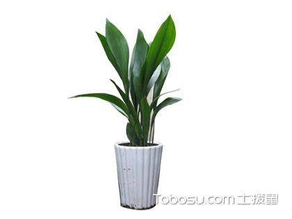 一叶兰的养殖方法和注意事项,家居软装首选植物