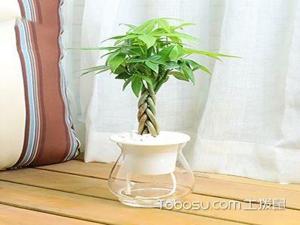 招财树价格是多少?价格适中养殖简单的室内盆栽!