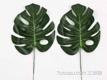 龟背竹的风水作用介绍,招财转运、增加福禄