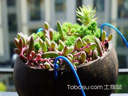 紫玄月什么时候开花?养殖时有哪些注意事项?