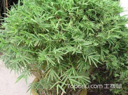 凤尾竹和散尾葵哪个好,告诉你凤尾竹和散尾葵哪个好