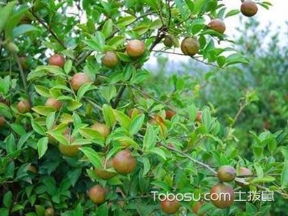 油茶树种植害人的传言是真的吗?正?#25151;?#24453;油茶树种植