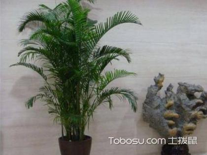 凤尾竹和散尾葵有哪些习性,凤尾竹和散尾葵哪个好