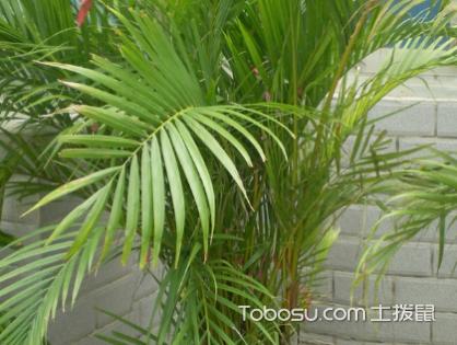 散尾葵适合放客厅吗,对于人体健康有害吗