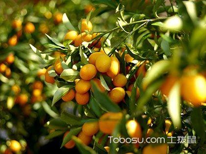 金桔树怎么养 金桔树的养殖方法