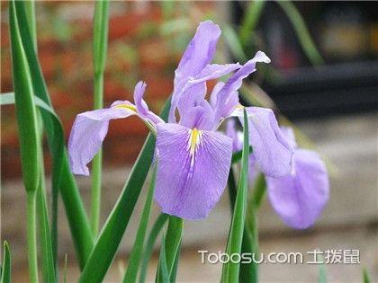 紫罗兰繁殖方法,紫罗兰病虫害防治方法