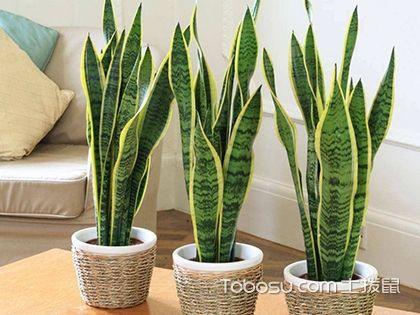 客厅养甚么植物最好?客厅植物风水年夜盘货