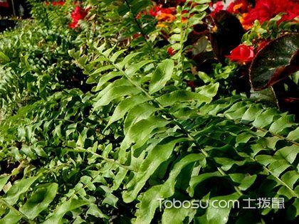 波斯顿蕨怎么养 波斯顿蕨的养殖方法