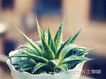 芦荟能除甲醛吗?还有什么植物是甲醛的克星呢?