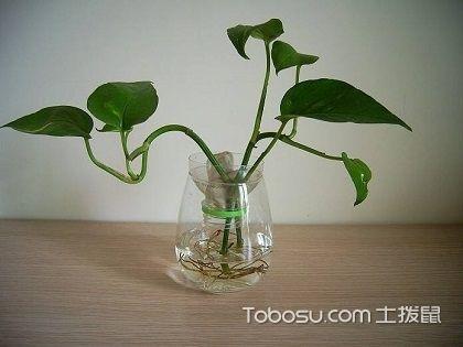 水培綠蘿的養殖方法,養殖綠蘿有哪些注意事項