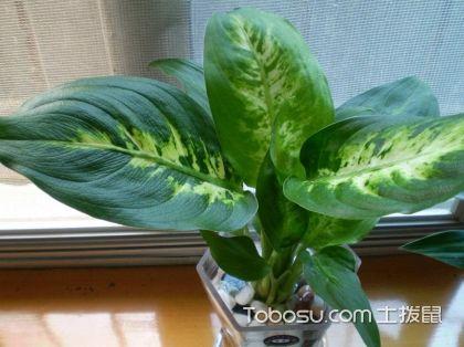 适合办公室水养的植物,冬季居家保湿十大水养植物