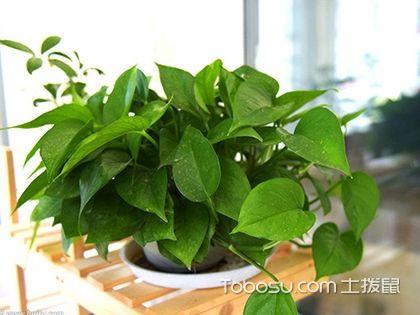 室内除甲醛植物,除甲醛植物有哪些?