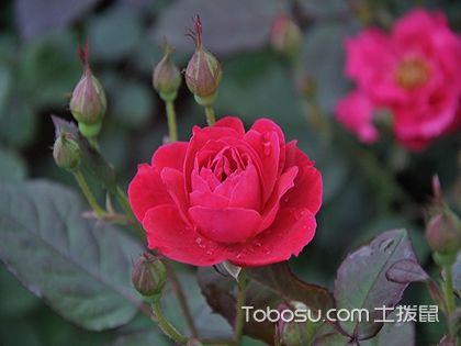 口红花怎么养,口红花的养殖方法和注意事项