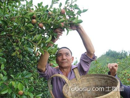 油茶樹種植害人,駭人聽聞還是確有其事