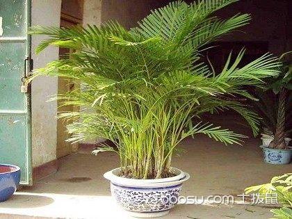 散尾葵和凤尾竹哪个贵,比较一下就知道了