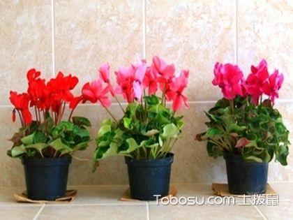 仙客来浇水步骤图,教你养好家中的植物
