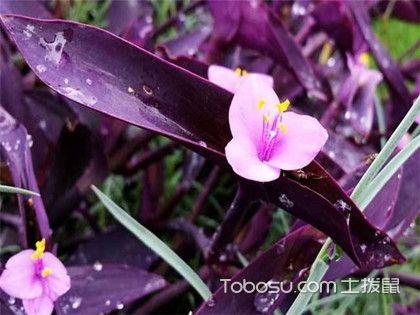 紫吊蘭的養殖方法和注意事項,紫吊蘭種植知識大介紹