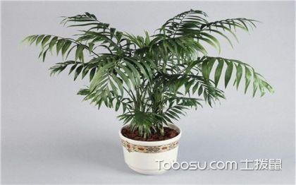 袖珍椰子可以放臥室嗎,添加熱帶特色和氛圍