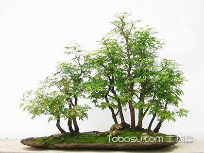 青楓樹的種植管理,青楓樹的價格