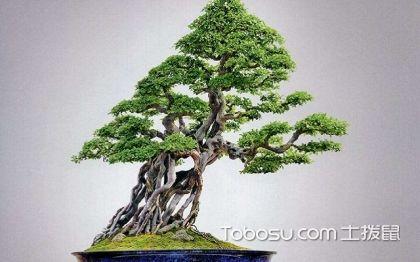 适合做盆景的树种有哪些?盆景的树种分类介绍