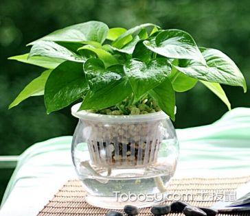水培绿萝怎么养 水培绿萝的养殖方法和注意事项