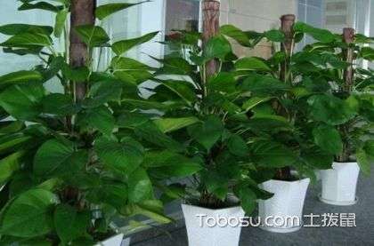 大叶绿萝的养殖方法,绿萝能放卧室养吗
