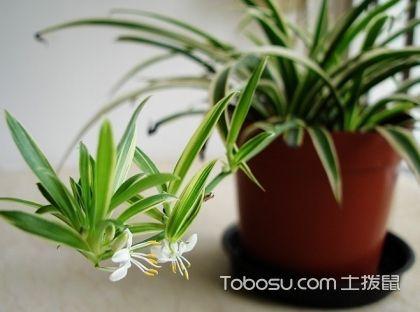綠蘿吊蘭的養殖方法和注意事項,綠蘿圖片