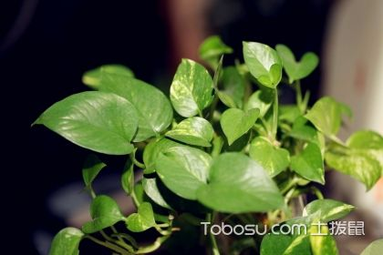 【施肥技術】綠蘿、君子蘭、發財樹怎么施肥