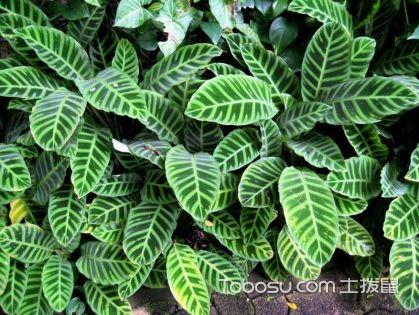 孔雀竹芋的养殖方法和注意事项 孔雀竹芋有毒吗