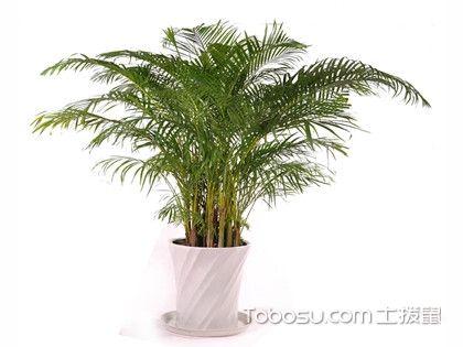 散尾葵和凤尾竹哪个贵?散尾葵和凤尾竹哪个好?