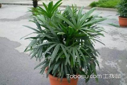 棕竹的品种有哪些,棕竹图片大全