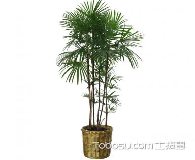 棕竹怎么养,棕竹的养殖方法