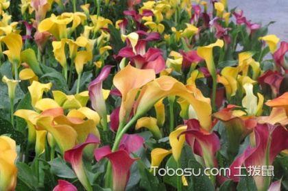 彩色马蹄莲怎么养,彩色马蹄莲的养殖方法