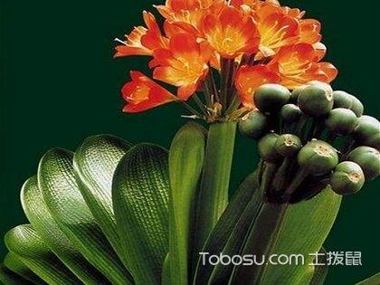 君子兰的养殖方法,适合小仙女的玉玲珑