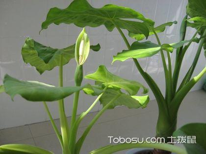 滴水观音开花图片,你知道滴水观音也是会开花的吗