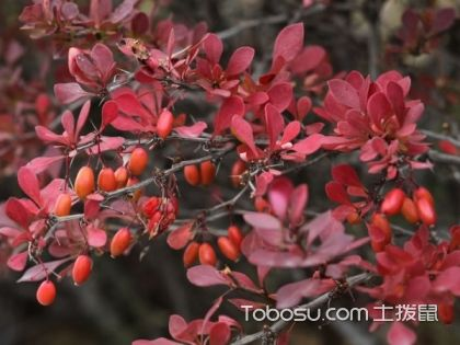 如何制作紫叶小檗盆景,紫叶小檗盆景的养护方法