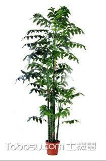 鱼尾葵图片,鱼尾葵与董棕的区别,鱼尾葵的养殖方法