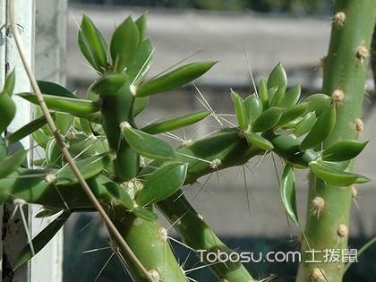 叶仙人掌的养殖方法 叶仙人掌嫁接蟹爪兰