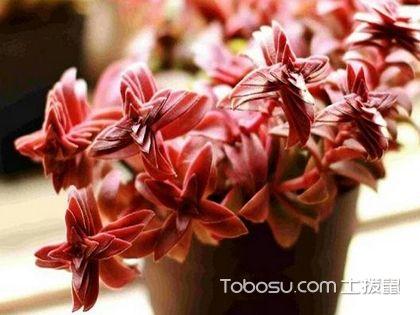 赤鬼城的养殖方法 赤鬼城(Crassula fusca)图片